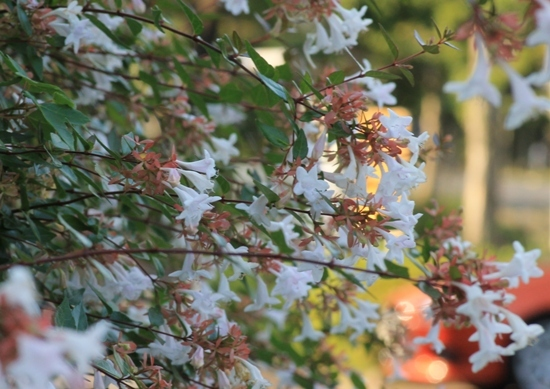 aa白い花01.jpg