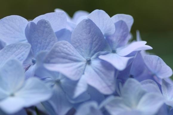 aa紫陽花05.jpg