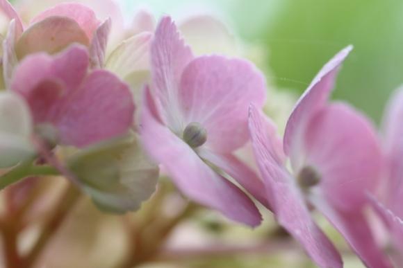 aa紫陽花07.jpg