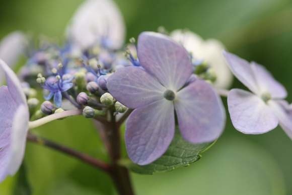 aa紫陽花11.jpg