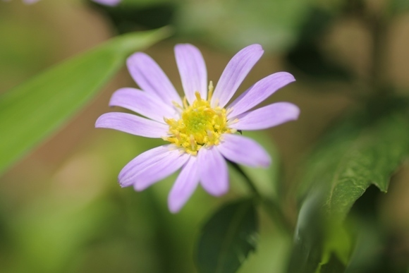 aa紫陽花15.jpg