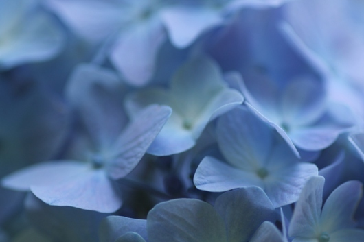aa紫陽花09.jpg